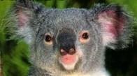 KoalaBear_crop_505